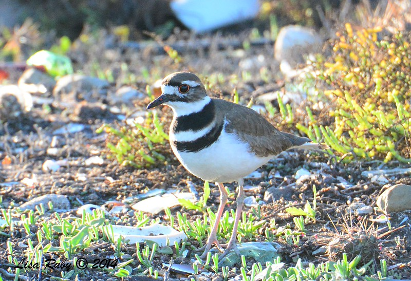 Killdeer - 12/29/2014 - Tijuana River Valley Estuary Preserve