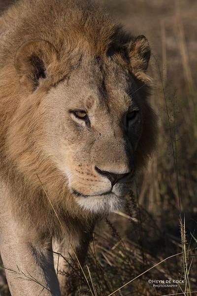 African Lion, Savuti, Chobe NP, Botswana, May 2017-7.jpg