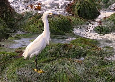 Snowy Egret - Cabrillo Beach, San Diego