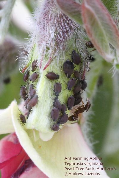 Ants aphids Tephrosia.jpg