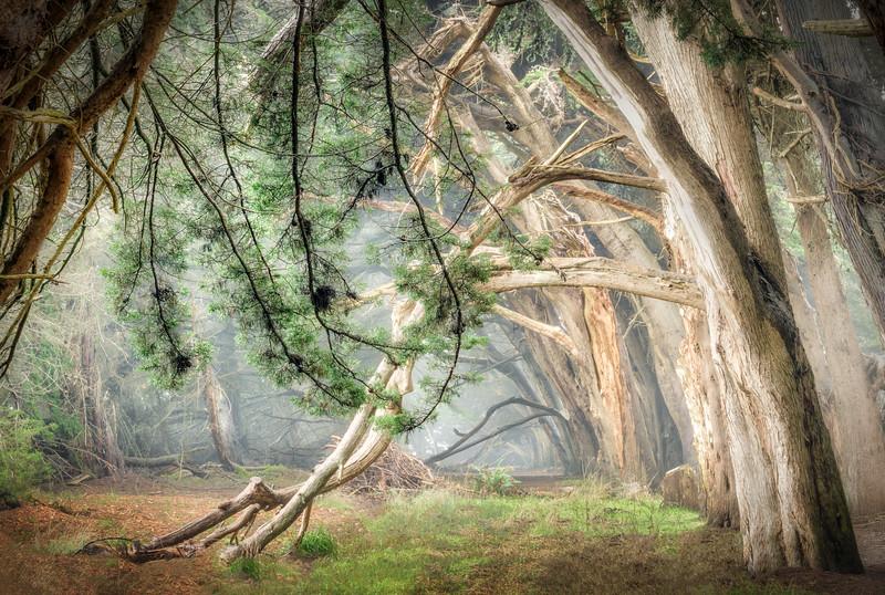 Mistic Cypress, Sea Ranch, California