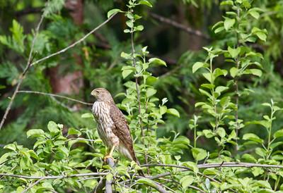 Woodpeckers vs Hawk