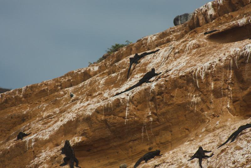 Climbing Marine Iguana on Golden Rock