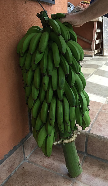Stalk of bananas