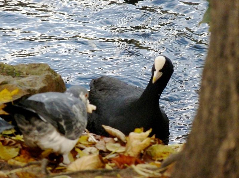 Eurasian Coot, Highgate Park