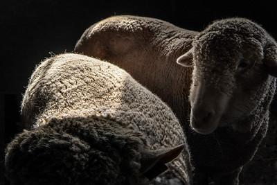 sheep-_89A9715-9713- v2c olorized