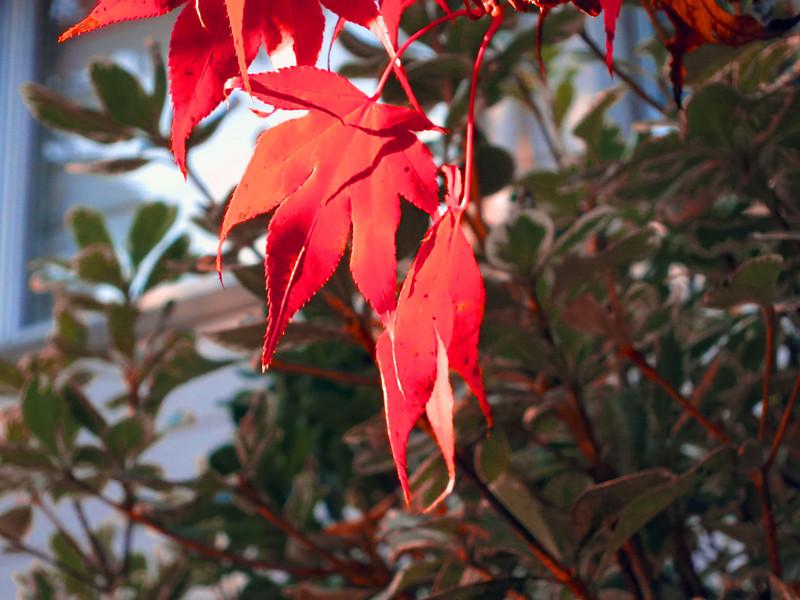 red leaves 0118.jpg