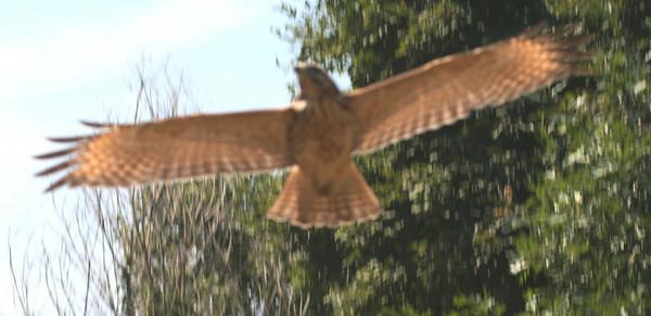 Hawk Attack on 8-16-8
