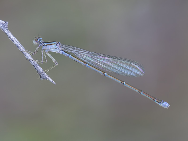 Immature Female, Chatsworth Lake, NJ