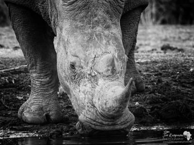 Black and White Rhino face