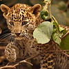 Wild leopard cub in Ranthambhore tiger reserve