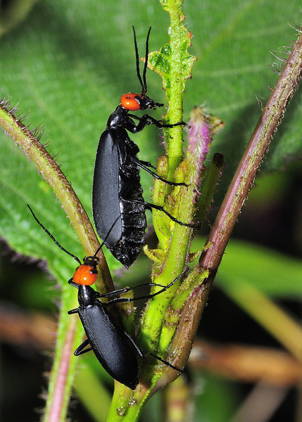 Black-Beetles-Mates-Pursuit-01.jpg
