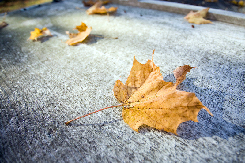 Fallen maple leaves, USA