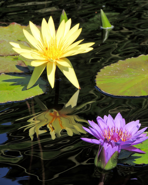 Water Lilies in Blue and Gold