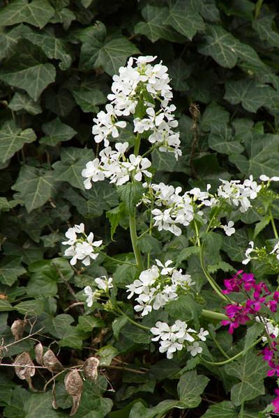 Lunaria annua_006.jpg