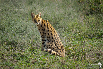 Serval in a beautiful pose