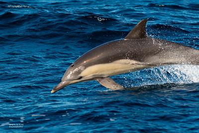 Short-beaked Common Dolphin (Delphinus delphis)