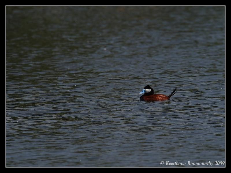 Ruddy Duck Male breeding plumage, Santee Lakes, San Diego County, California, May 2009