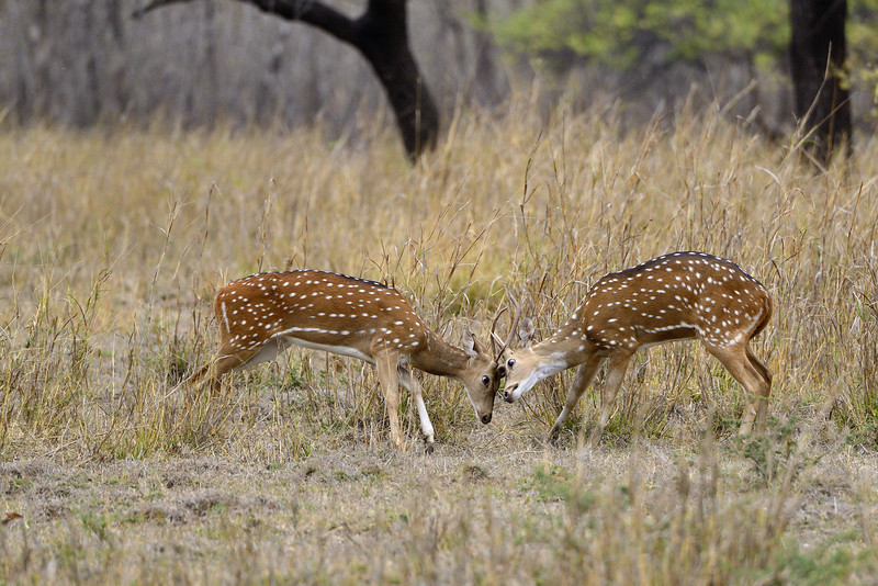 Spotted-Deer-sparring.jpg