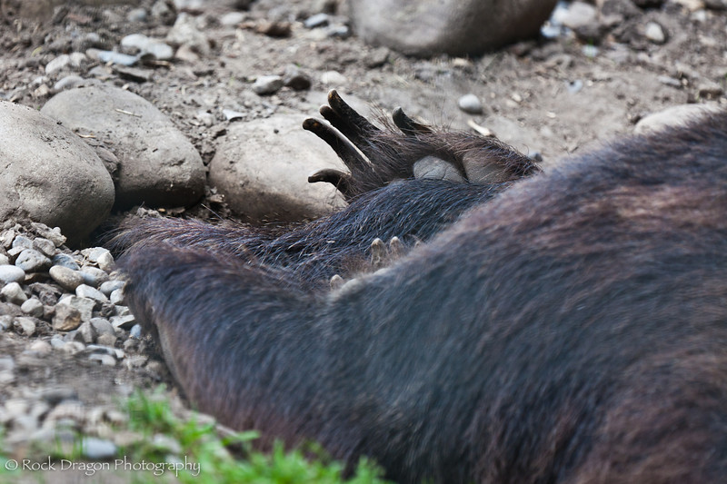 Grizzly Bear claws.