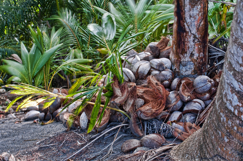 Old coconuts pile up on the beach.