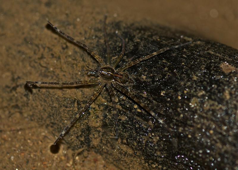 Raft Spider - Vietnam