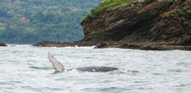 Humpback whales playing in the ocean in Costa Rica