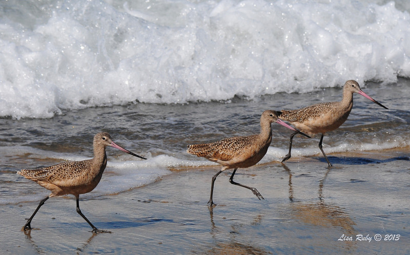 Marbled Godwits - 10/6/13
