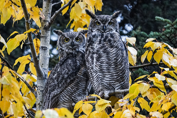 GREAT HORNED OWLS - DENALI NP