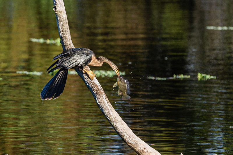 """An male anhinga or """"snake bird"""" stands on a dead tree after catching its morning meal in the waters at Wakodahatchee Wetlands in Delray Beach,  Monday, November 30, 2020. (JOSEPH FORZANO / THE PALM BEACH POST)"""