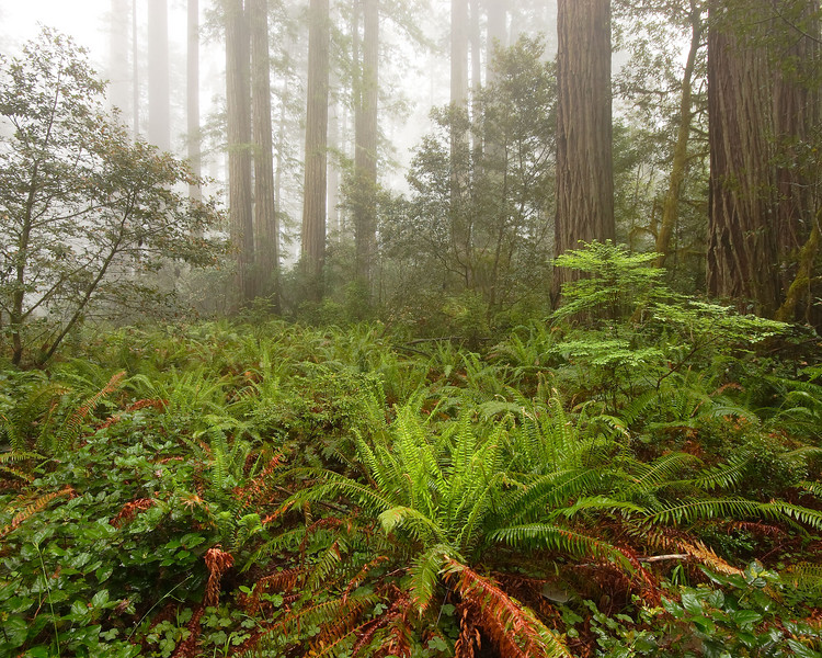 Fern and Redwoods Redwood National Park California
