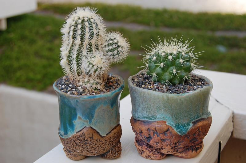 "Echinocereus Reichenbachii  & Echinocactus Grusonii ""golden barrel"""