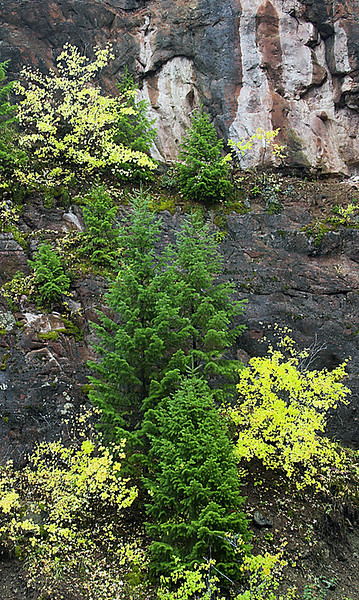 Golden Aspen and a delicate Spruce form a natural rock garden along the Crystal River between Carbondale and McClure Pass.