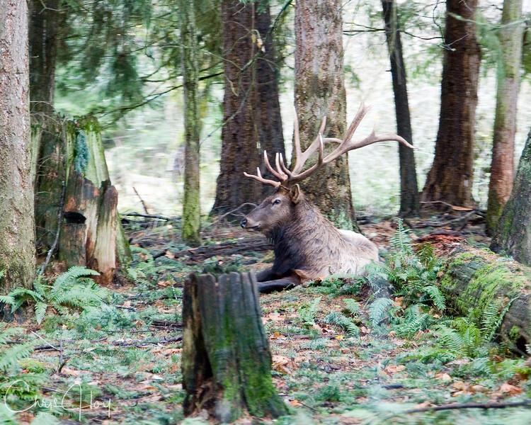 Forest Elk.jpg