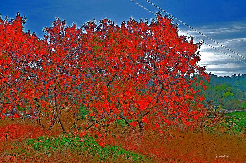 flame trees 10-23-2012.jpg