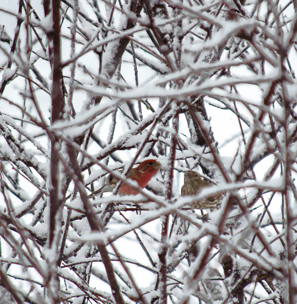 247 snow - cardinal in backyard(p, site).jpg