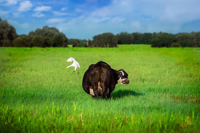 cow egrett--2.jpg