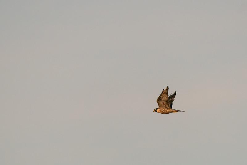 Peregrine Falcon - Mountain View, CA, USA