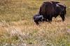 Lamar Valley, Yellowstone-Swan9IMG_1127
