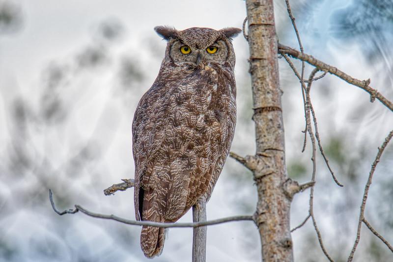 Great-Horned Owl Alaska 2019-1.jpg
