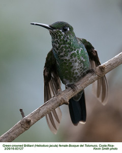 Green-crowned Brilliant F83127.jpg