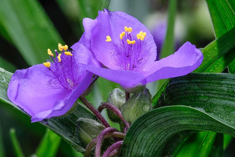 Spiderwort in Bloom