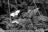 Cryptic Wood White - Leptidea juvernica (7)