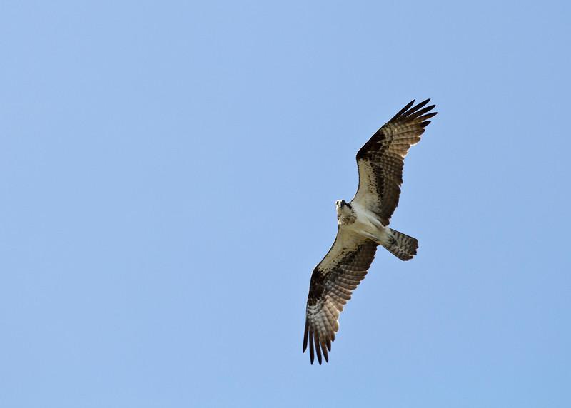 The Osprey wonders