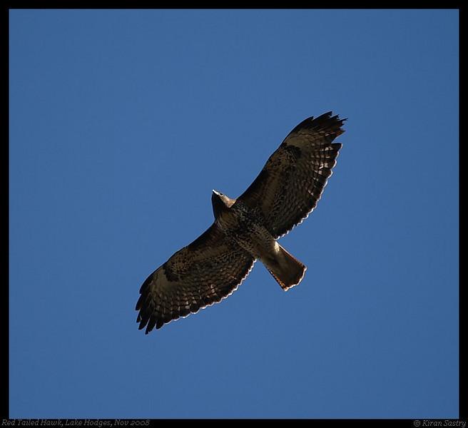 Red-Tailed Hawk, Lake Hodges, San Diego County, California, November 2008