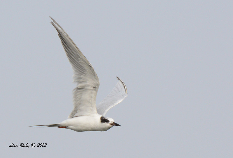 Forster's Tern - Salt Works - 10/27/13
