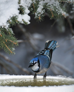 Blue Jay  Taken Nov. 12, 2011 Elk Island Retreat Near Fort Saskatchewan, Alberta