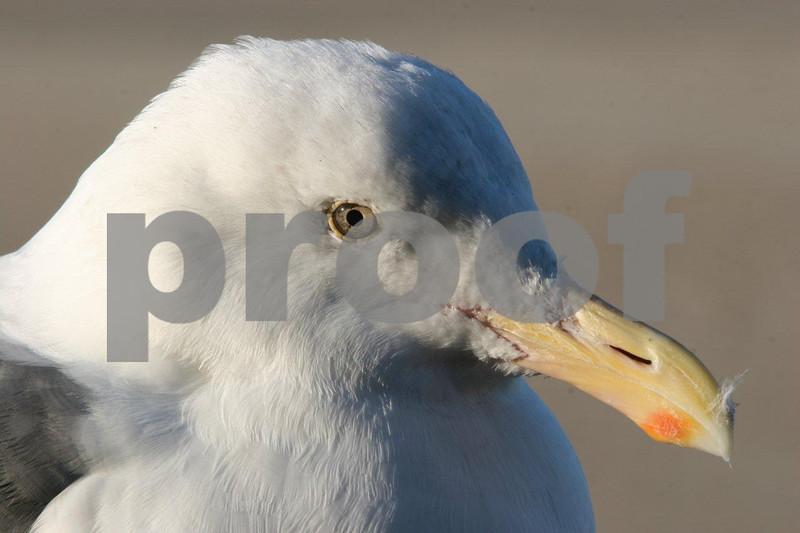 Seagull head 4678.jpg