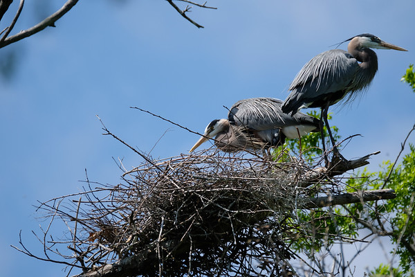 Heron Baby Status - March 2017
