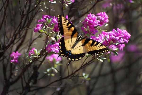Butterfly_Summer  2015